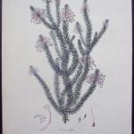 Andrews Erica Multiflora