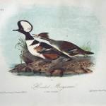 Audubon Hooded Merganser