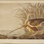 Audubon Long Billed (1)