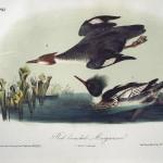 Audubon Red Breasted Merganser