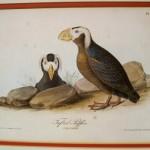 Audubon Tufted Puffin