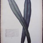 Blume Polypodium LXXIX
